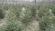 Саженцы,  сеянцы хвойных,  лиственных растений