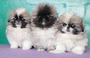 продам щенков пекинеса есть суки и кобели
